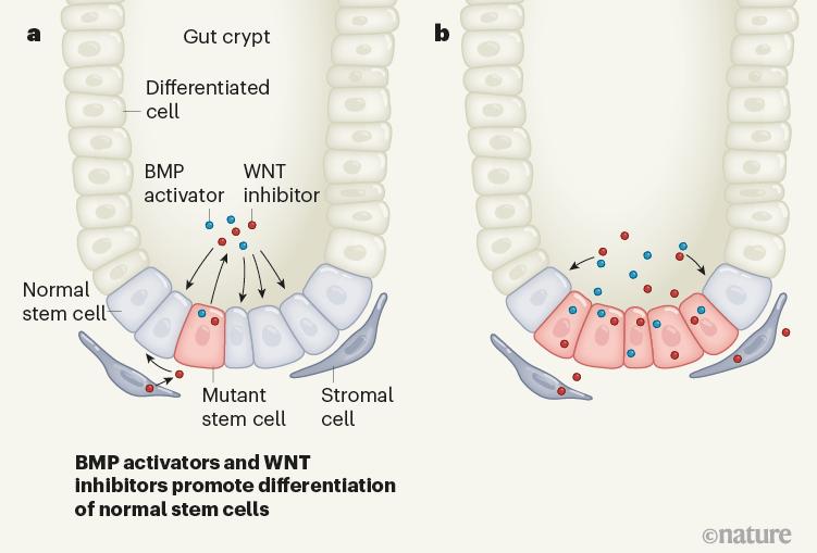 celule stem canceroase